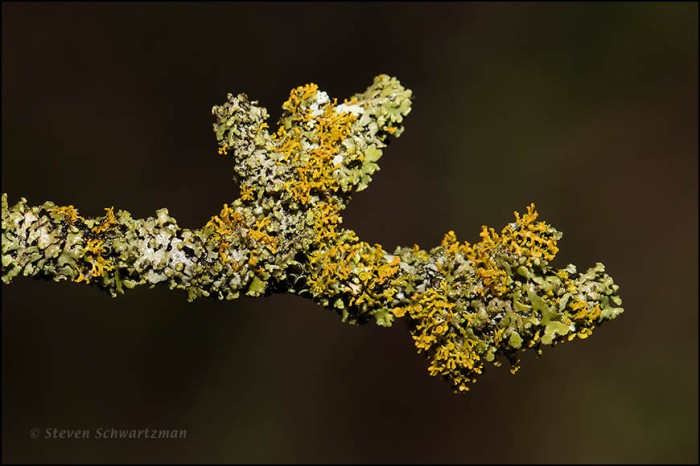 Lichen on Dead Branch 6015