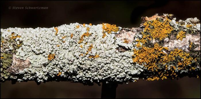 Lichen on Dead Branch 6051