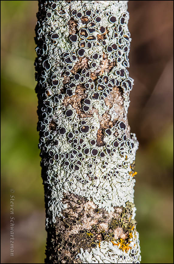 Lichen on Dead Elbowbush Branch 6018