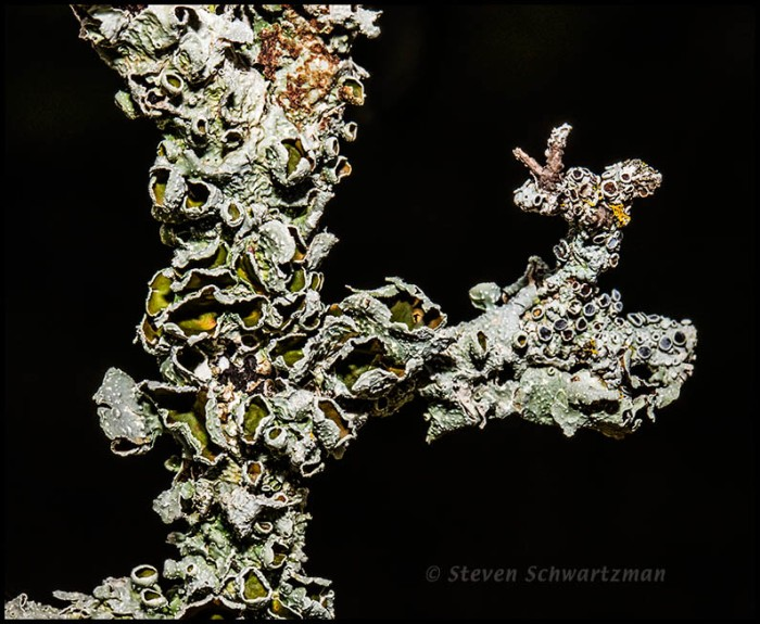 Lichen on Dead Elbowbush Branch 6045