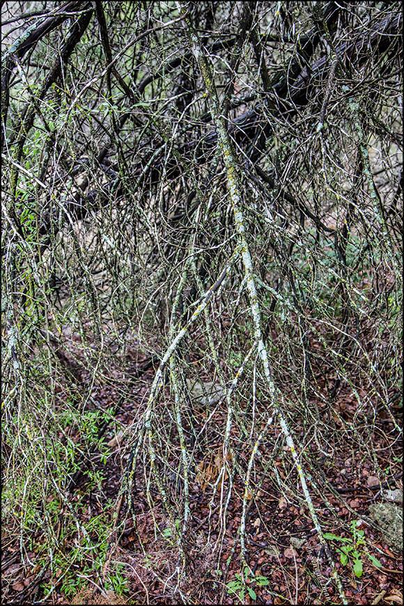 Lichens on Broken Branches 5970