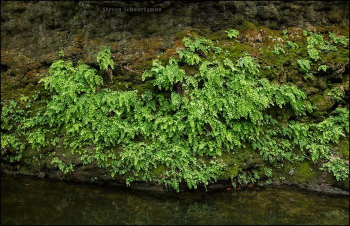Maidenhair Ferns on Creek Wall 5934