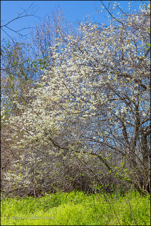 Mexican Plum Tree Blossoming Above Vegetation 7172