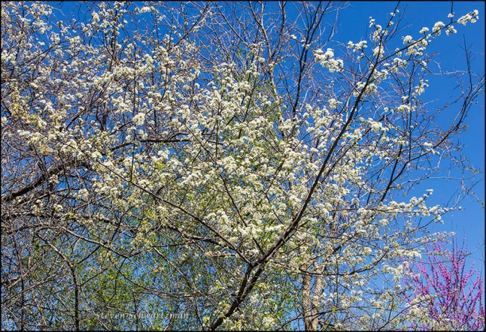 Mexican Plum Tree Blossoming by Redbud 7168