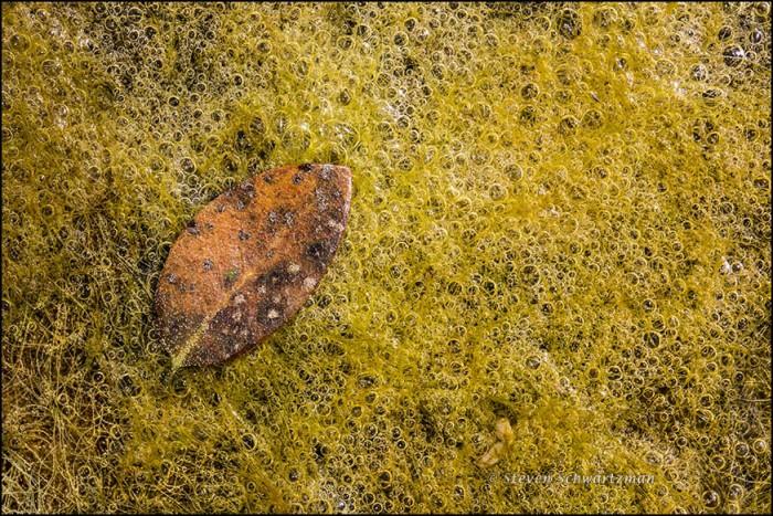 Old Leaf Fallen on Algae 7116