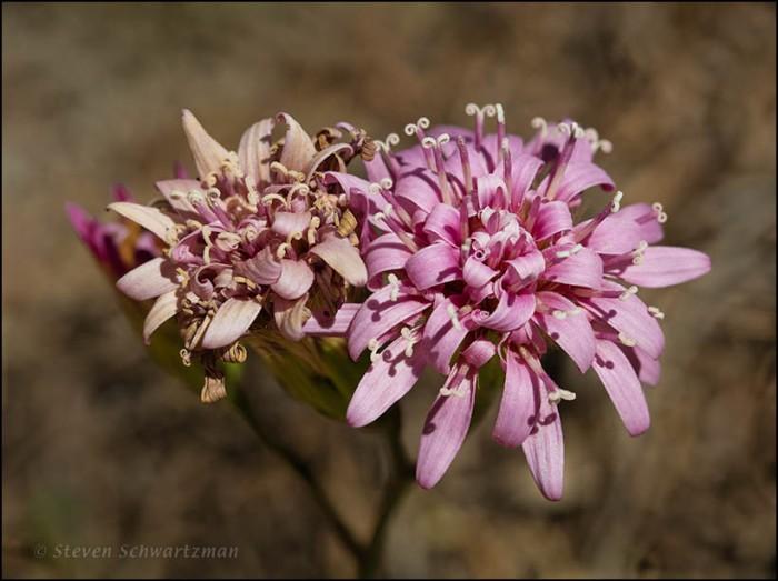 Peonia Flower Heads 4828