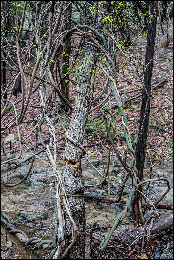 Rattan Vines on Dead Tree 5958