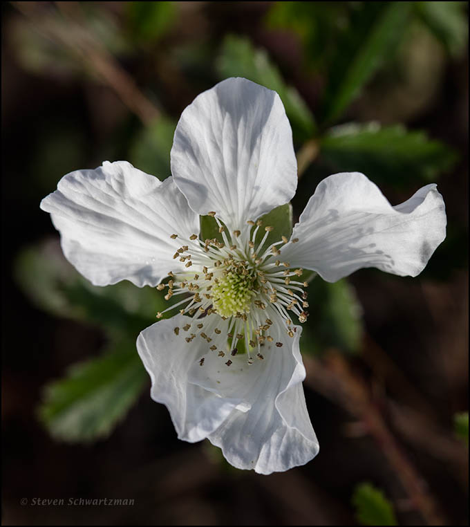 Southern Dewberry Flower 5861