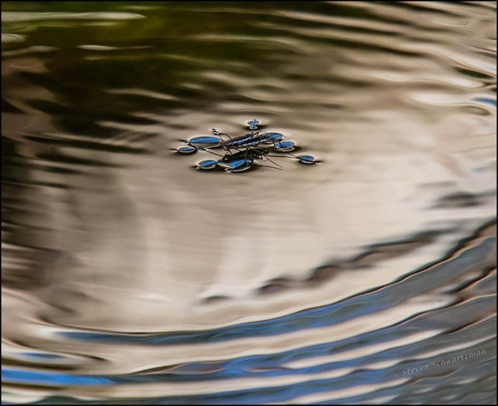 Water Striders 6941