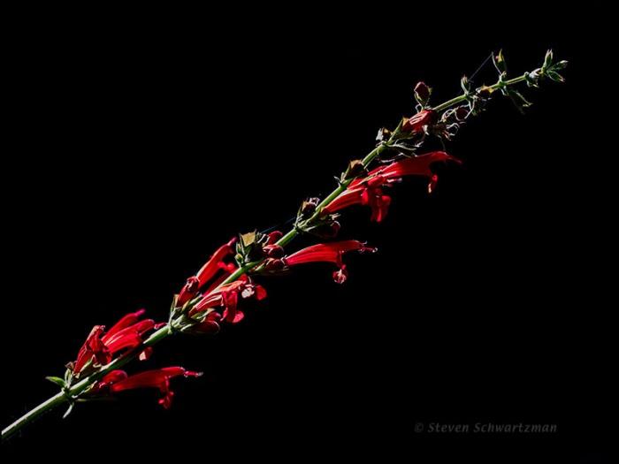 Cedar Sage Flower Stalk 9266