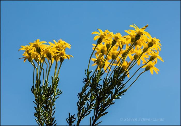 Damianita Flowers from Below 0445