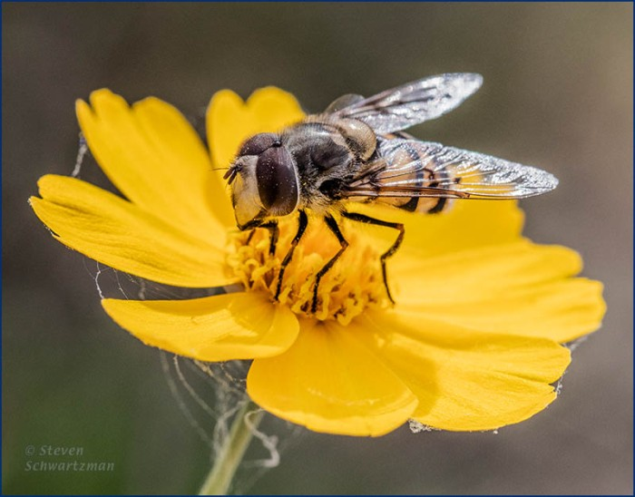 Fly on Navajo Tea Flower Head 0470
