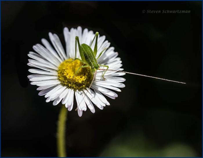 Katydid nymph on Prairie Fleabane Daisy 0279