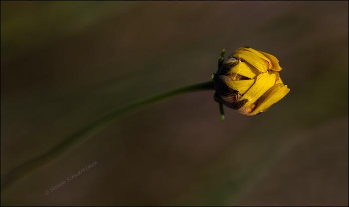 Navajo Tea Flower Head Beginning to Open 0672