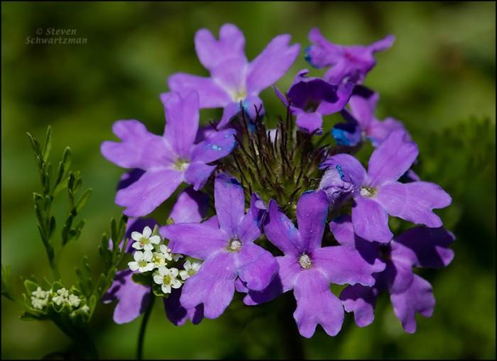 Prairie Bishop's Weed and Prairie Verbena Flowering 8635