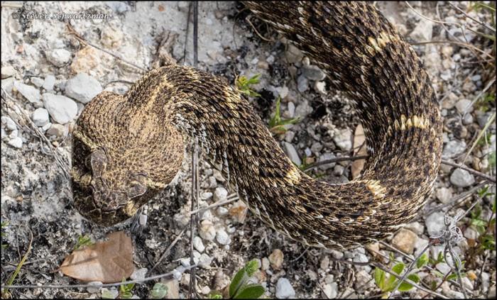 Rattlesnake 0477A