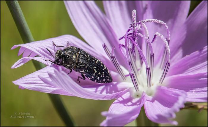 Acmaeodera Beetle on Skeleton Plant Flower 2395