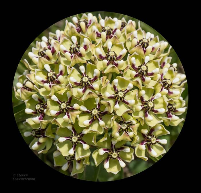 Antelope Horns Flower Globe 0643