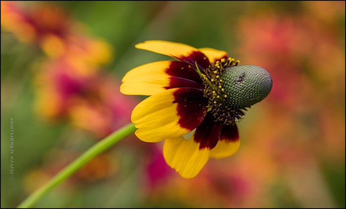 Clasping-Leaf Coneflower Flower Head by Firewheels 0854