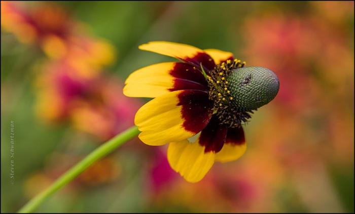 Clasping-Leaf Coneflower Flower Head by Firewheels 0854