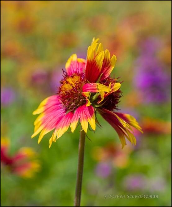 Conjoined Firewheel Flower Heads 4547