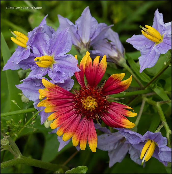 Firewheel with Western Horsenettle Flowers 2532