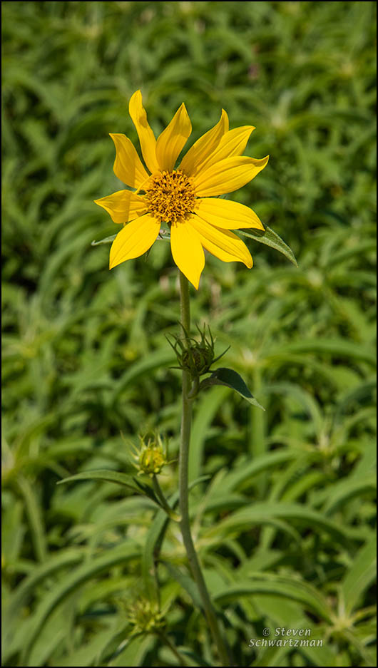 Maximilian Sunflower Flowering in May 4310