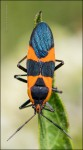 Milkweed Bug on Antelope Horns Milkweed Leaf 2134A
