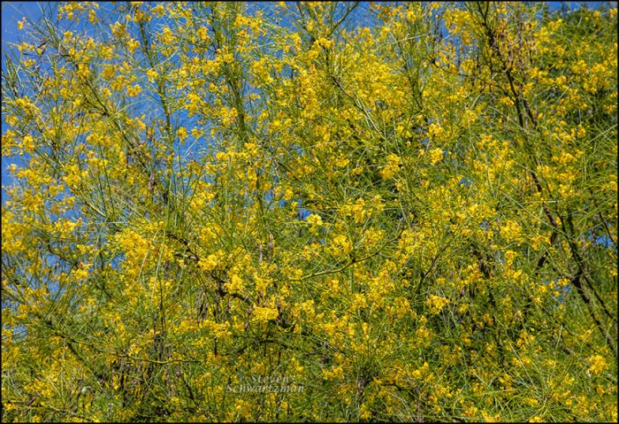 Paloverde Tree Flowering 3421