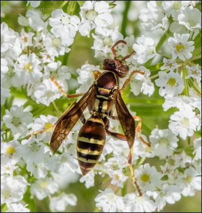 Paper Wasp on Prairie Bishop's Weed 1926
