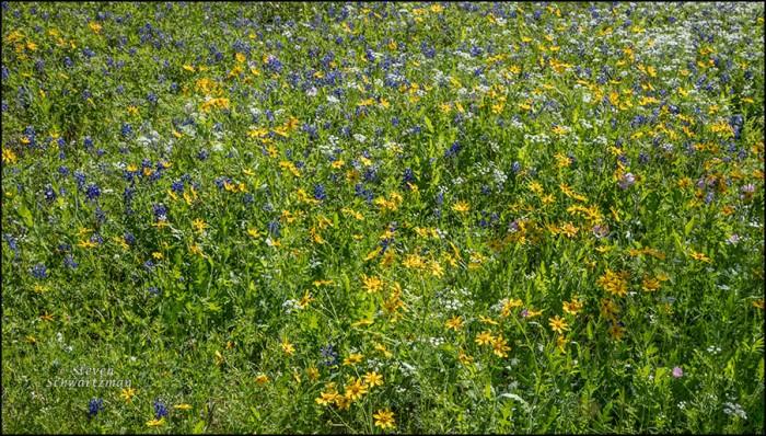 Prairie Wildflowers 1892