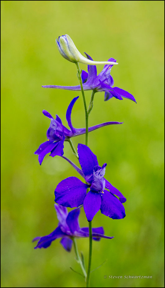Purple Prairie Larkspur Flowers 2454