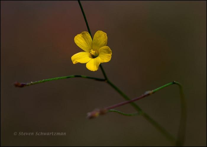 Rock Flax Flower 0634