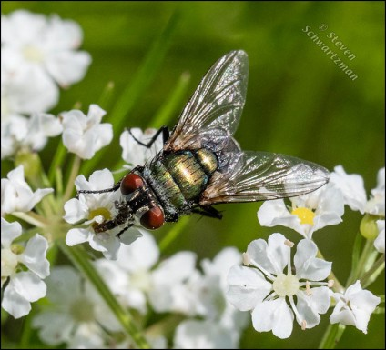 Shiny Fly on Prairie Bishop's Weed Flowers 1940