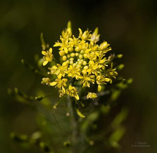 Tansy Mustard Flowering 9674