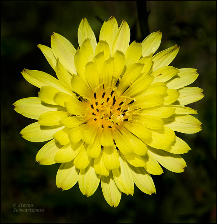 Texas Dandelion Flower Head from Above 0066