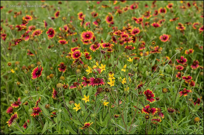 Texas Yellow Stars in Firewheel Colony 0741