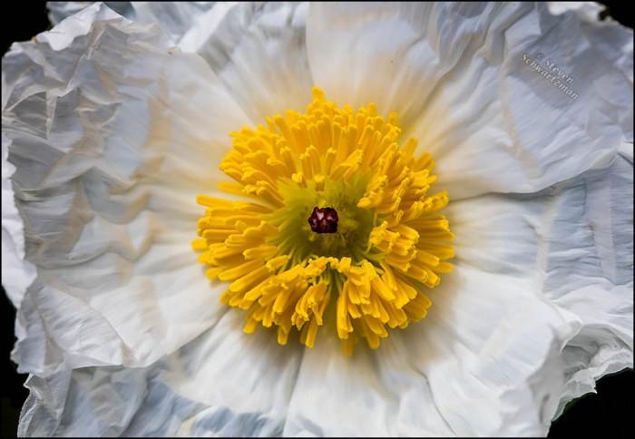 White Prickly Poppy Center 3930A
