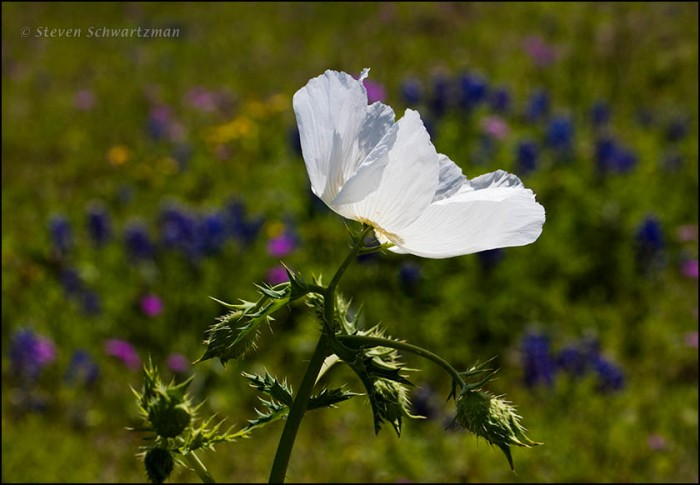 White Prickly Poppy Flowering with Other Wildflowers 9787