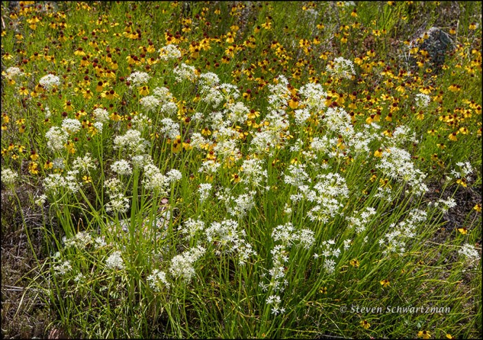 Wild Onions and Brown Bitterweed Flowering 3558