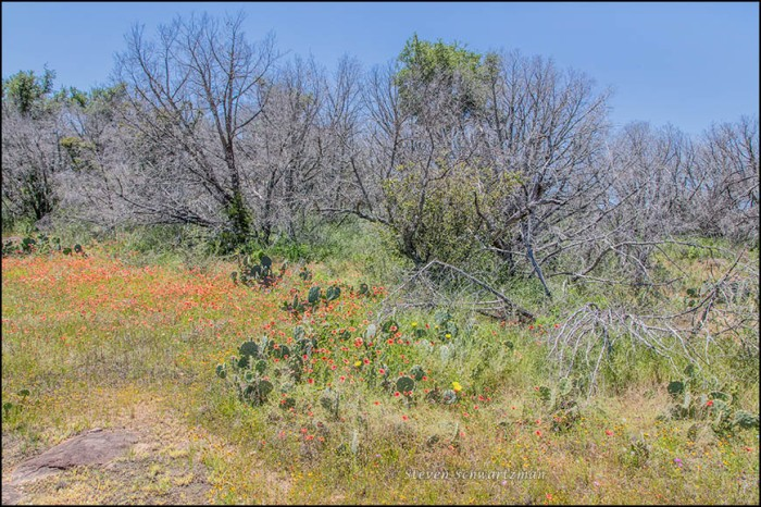 Wildflowers on the Llano Uplift 3652