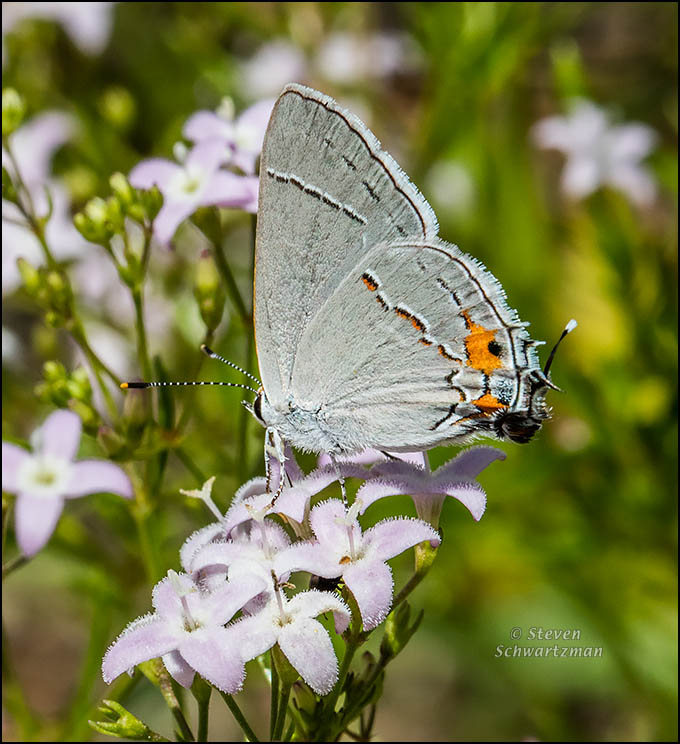 Gray Hairstreak Butterfly on Bluets 3491