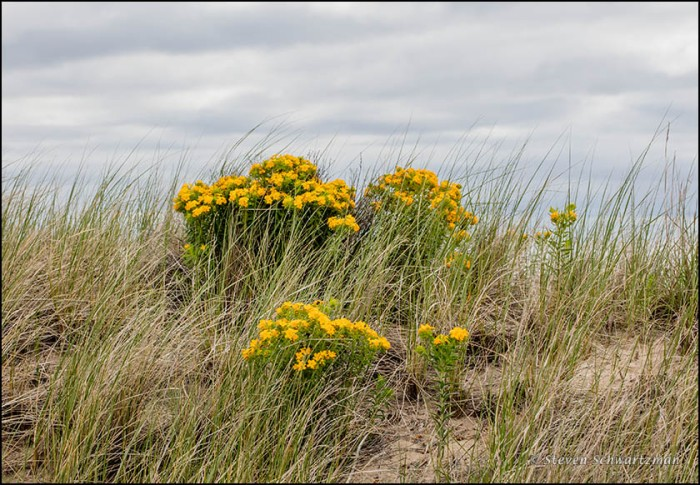 Hairy Puccoon at Illinois Beach 7036