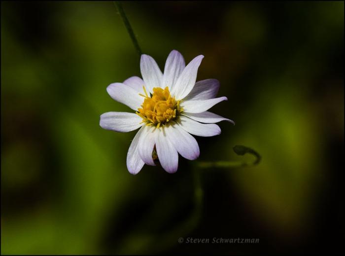 Least Daisy Flower Head 3773