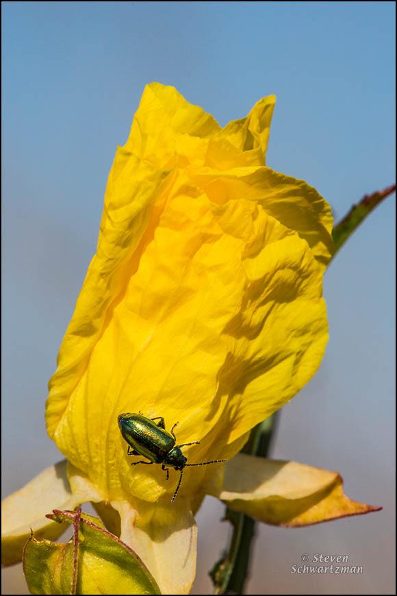 Metallic Beetle on Square-Bud Primrose Flower 6078