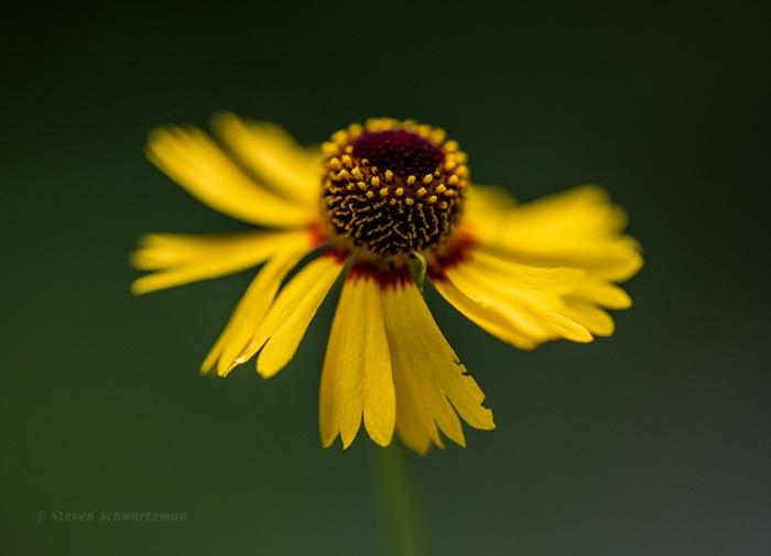 Sneezeweed Flower Head 3951
