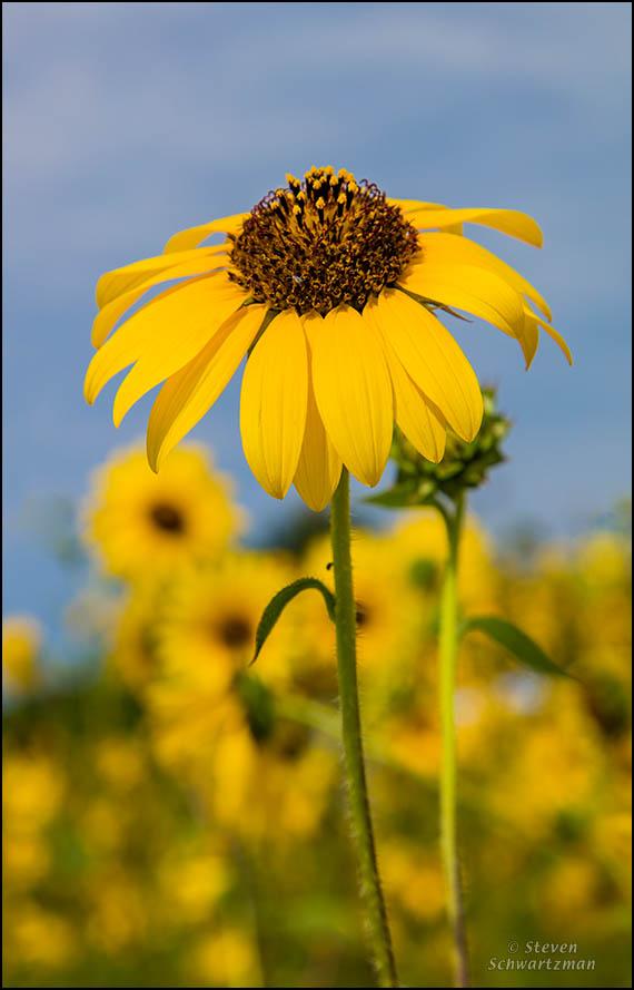 Sunflower Flower Head in Colony 6062