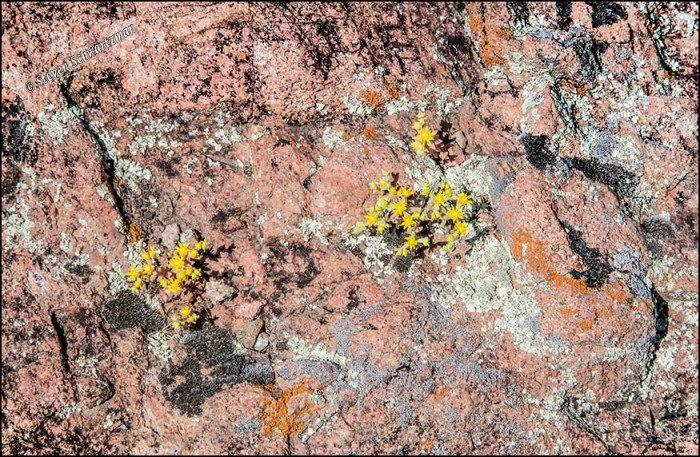 Yellow Stonecrop Flowers and Lichens on Pink Rocks 3824