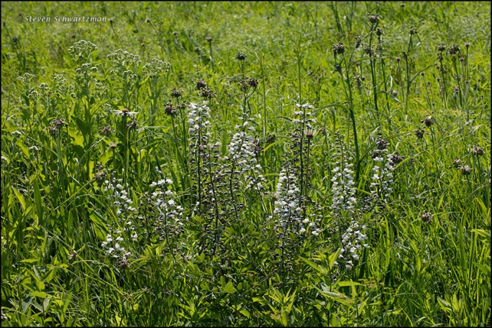 Baptisia and Spiderworts 8182