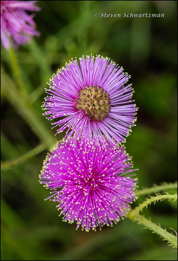 Catclaw Sensitive Briar Flowers 6745